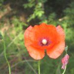 37-Un papavero fiorito