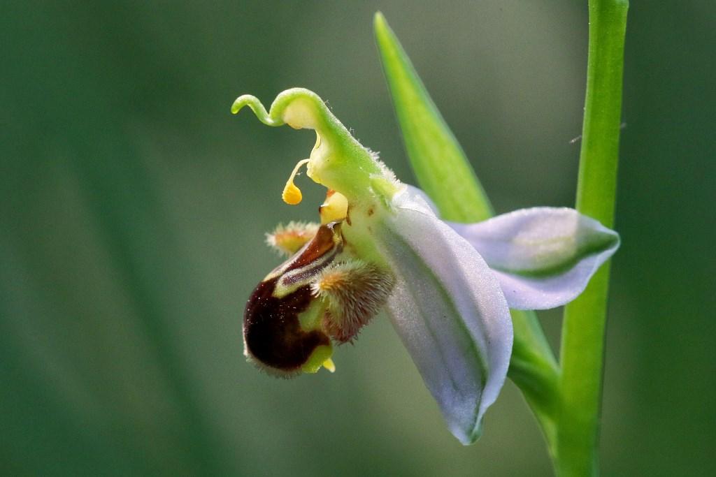 1 - la regina delle ophrys