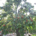 39-Uno dei tanti ciliegi